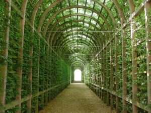 Hampton Court Great Vine